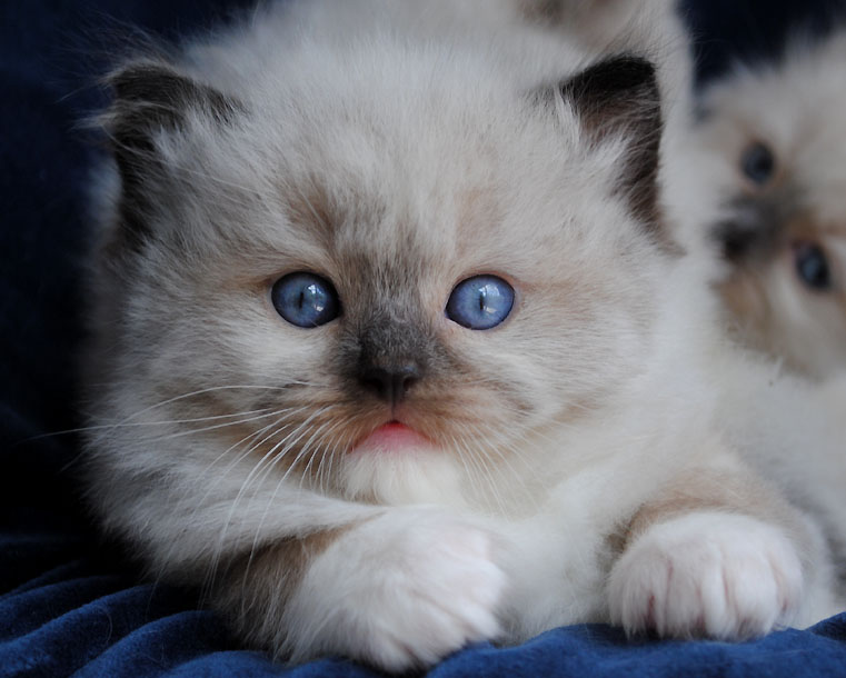 Seal point mitted Ragdoll kitten photo - Zippity x Tiddlywinks