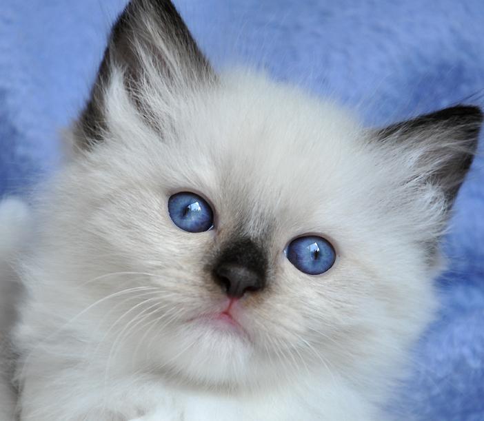 ragdoll cats for adoption
