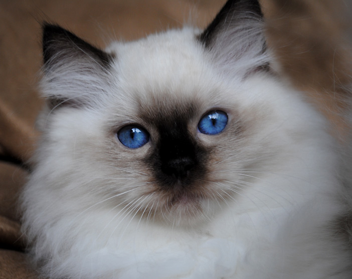 Seal point mitted Ragdoll kitten - Gypsy x Zippity