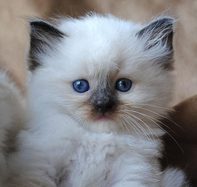 Ragdoll Cats Photo Gallery- BlueGem Ragdolls - Ragdoll ...