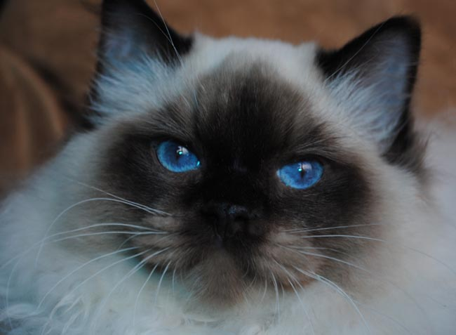 Ragdoll Teddy Bear Cat Breed