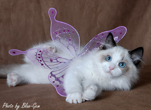 Available Ragdoll Kittens - Ragdolls kittens for sale - Ohio